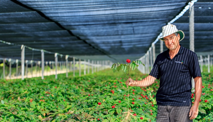 Ontario ginseng grower holding plant in amongst rows of ginseng plants
