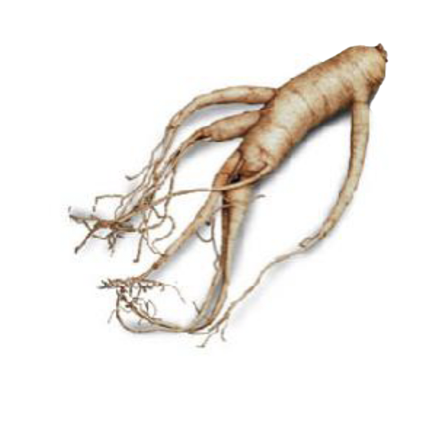 Illustration of ginseng root